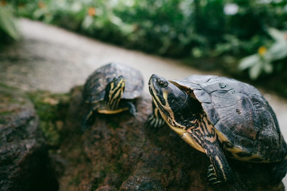 two brown turtle