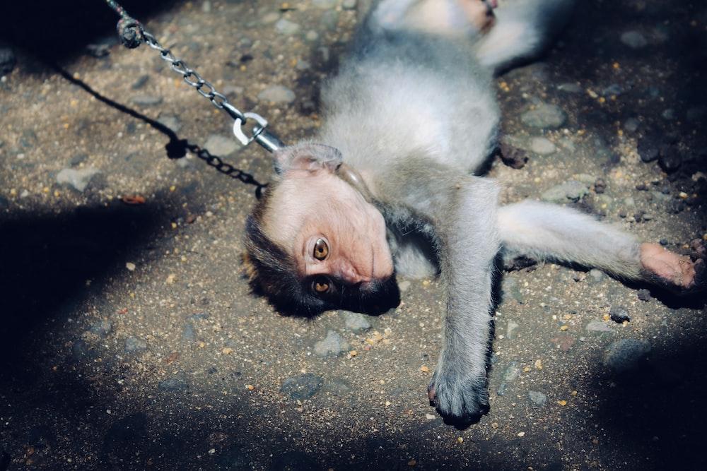 gray monkey lying on gray soil
