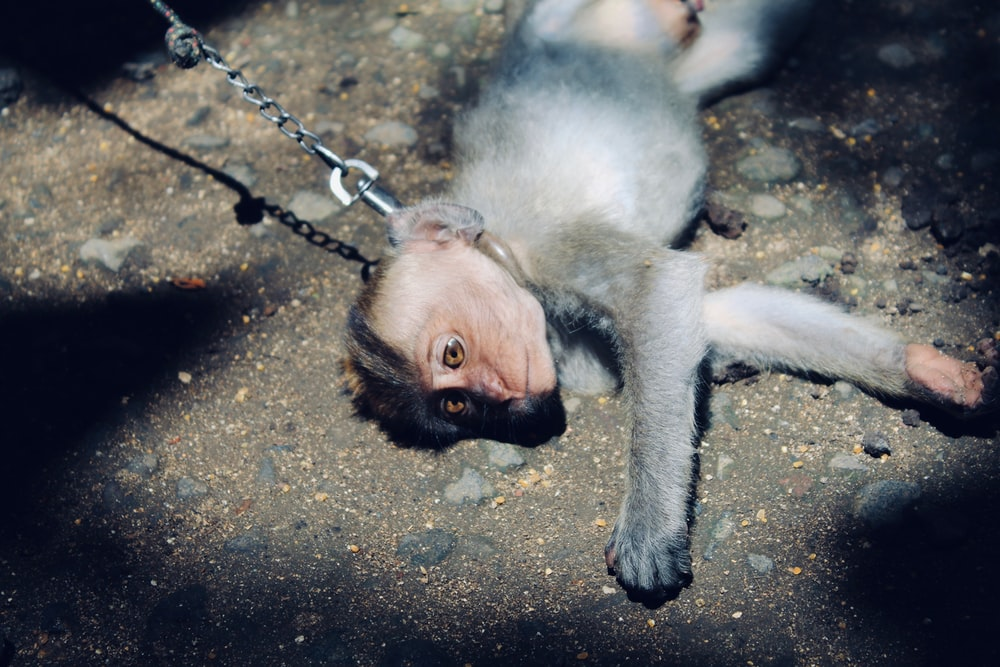 gray monkey lying on gray soil