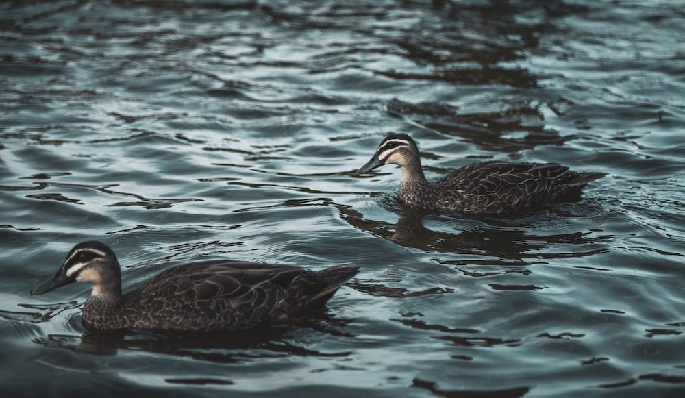 two black ducks on body of water Winnipeg Metropolitan Region