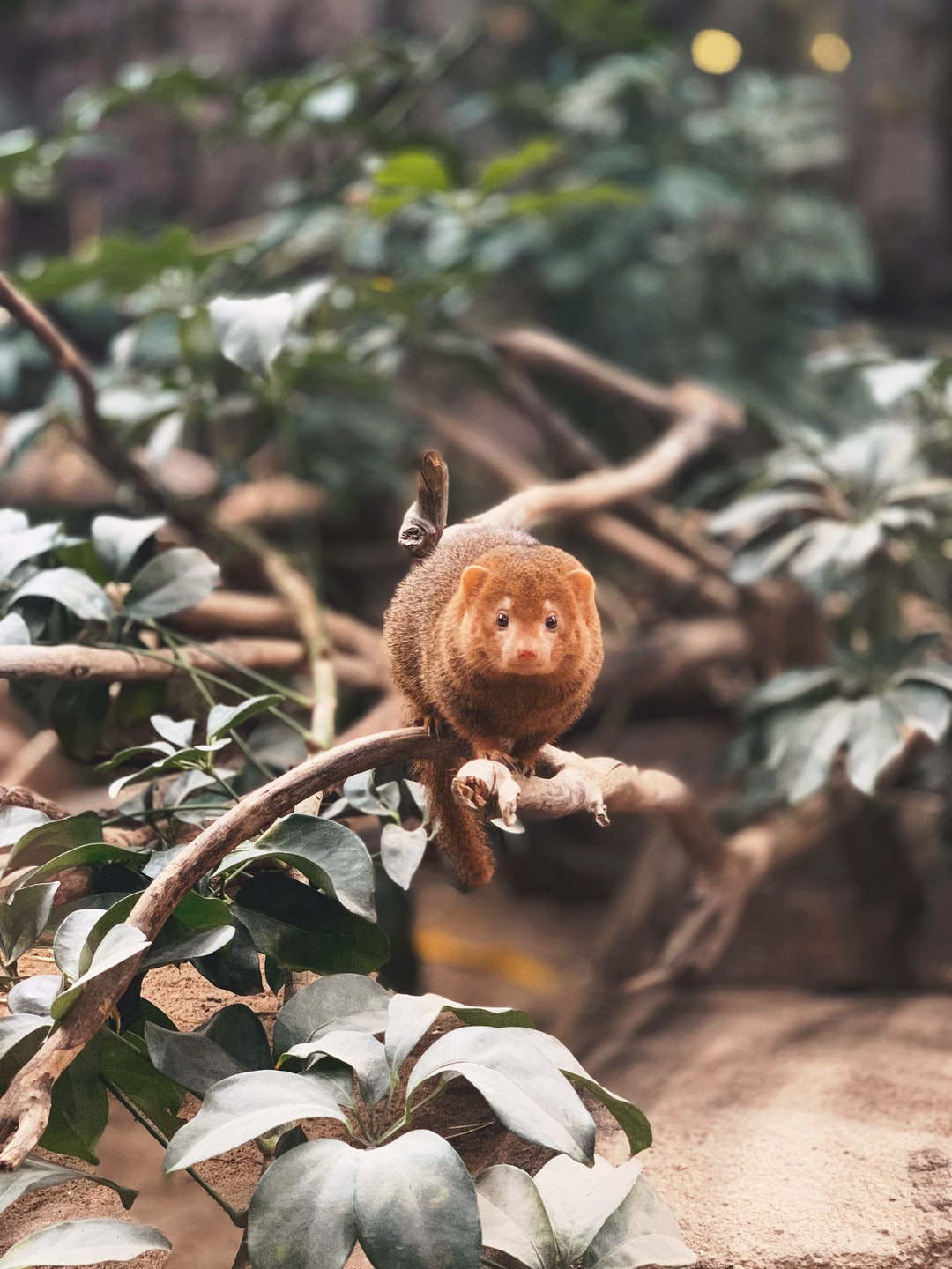 Dwarf mongooses run very fast, so taking a shot of them is very hard. Yet, this one jumped on the branch, stayed still so I could get a good shot.