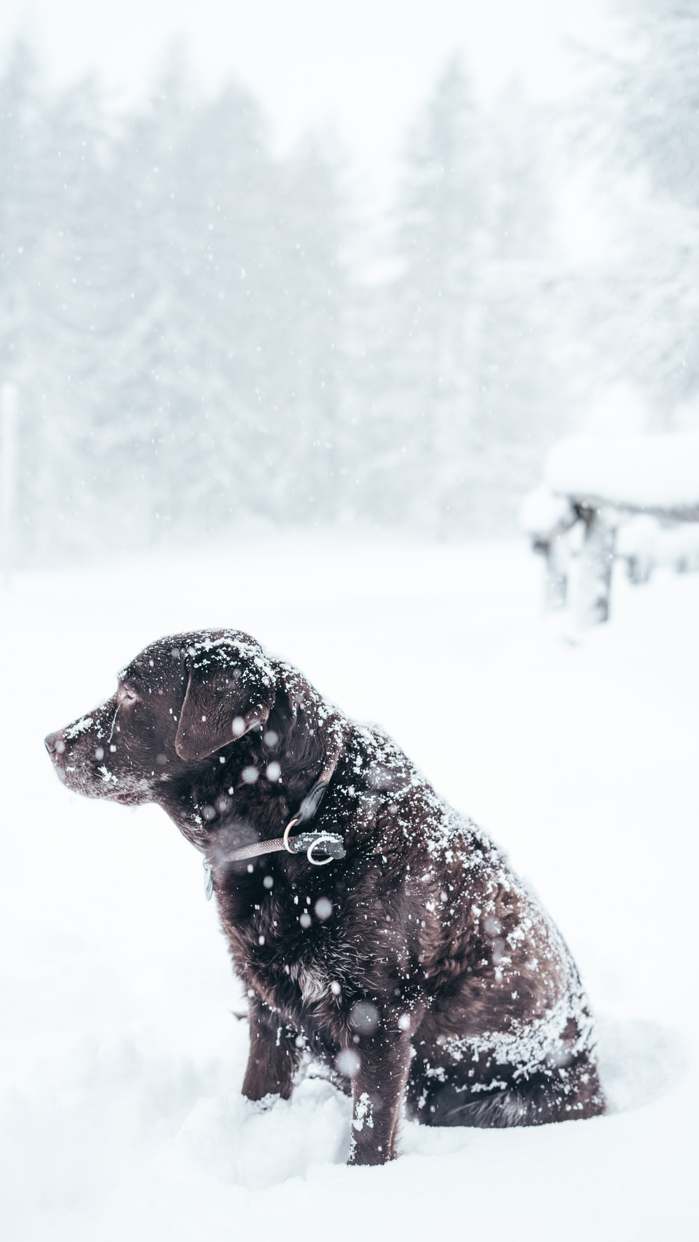 adult chocolate Labrador retriever sitting outside with snow
