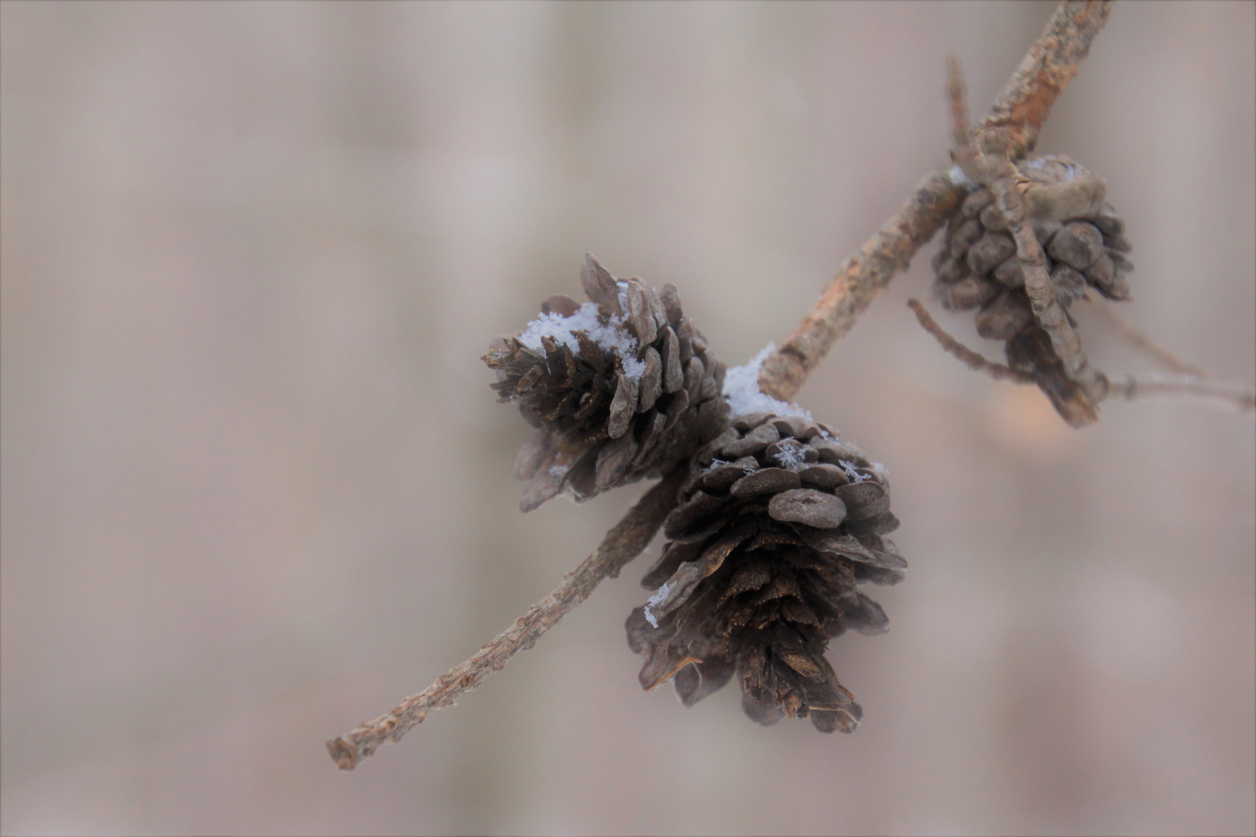 selective focus photography of pine cones