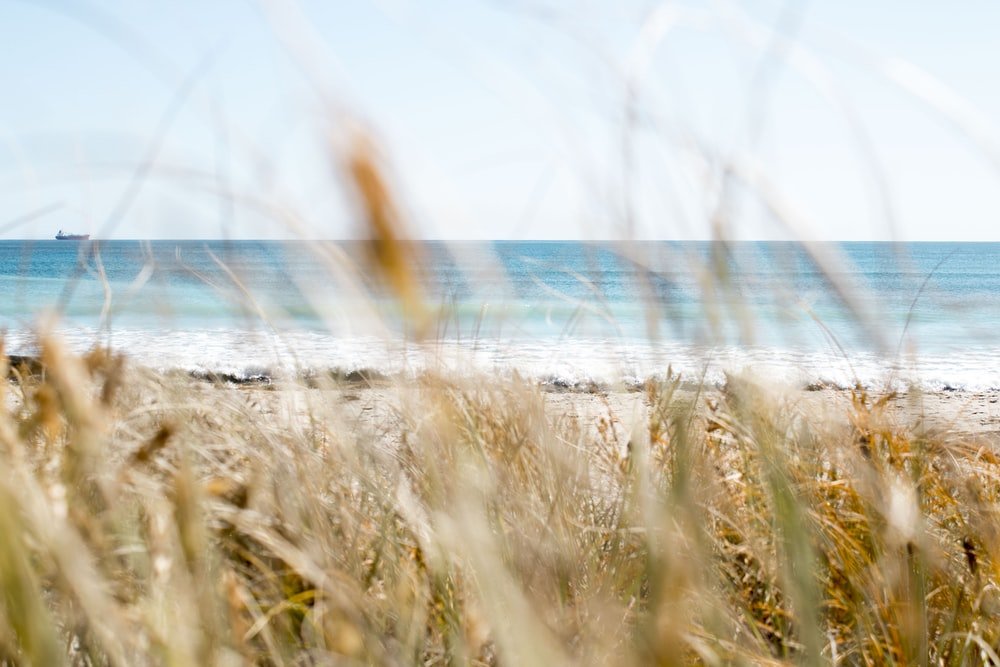 brown grass on seashore