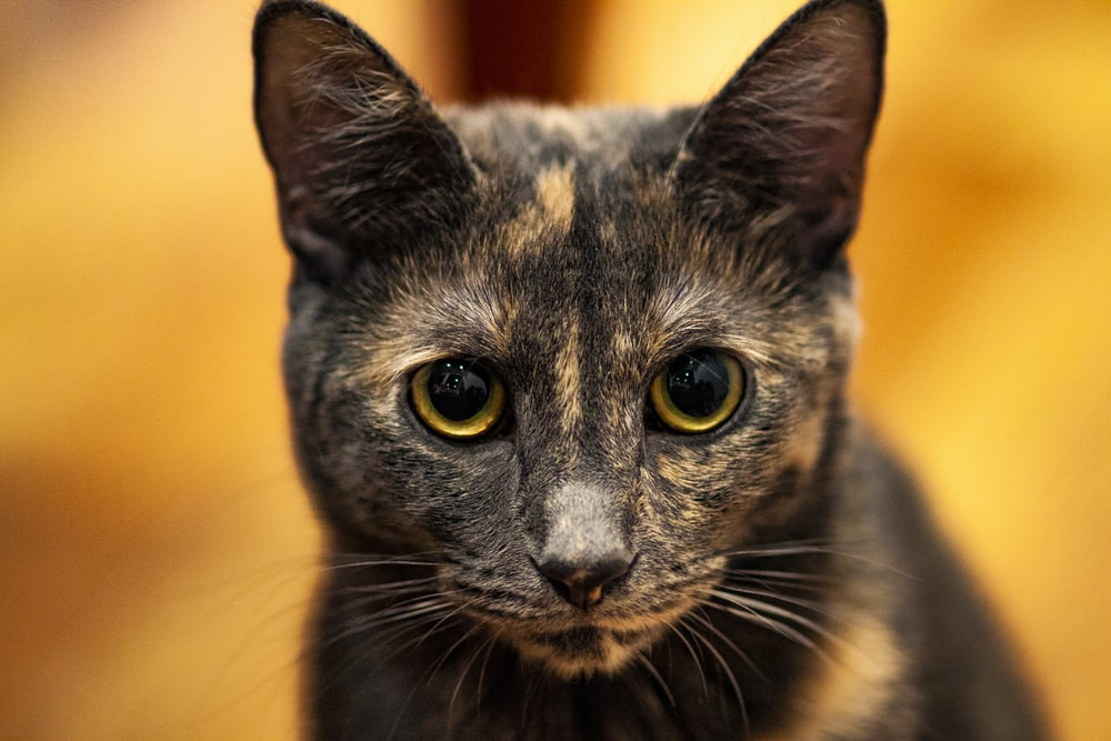 short-fur tortoiseshell cat