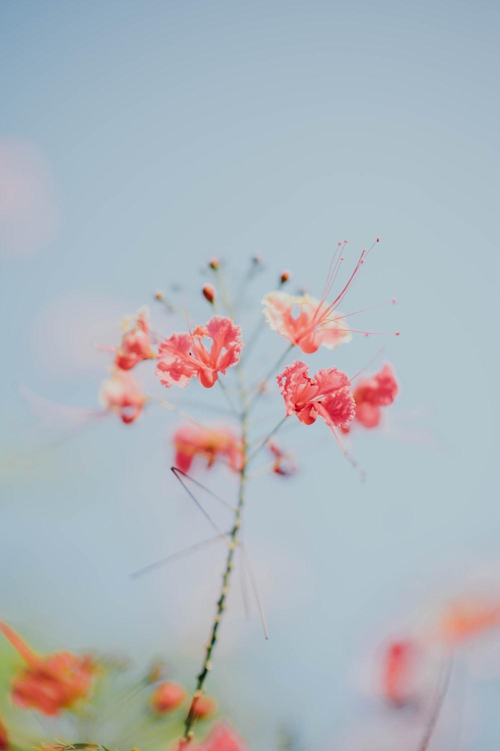 pink petaledflower