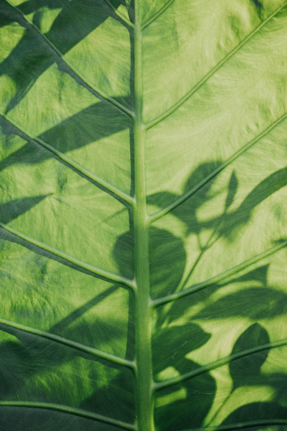 Colocasia esculenta leaf