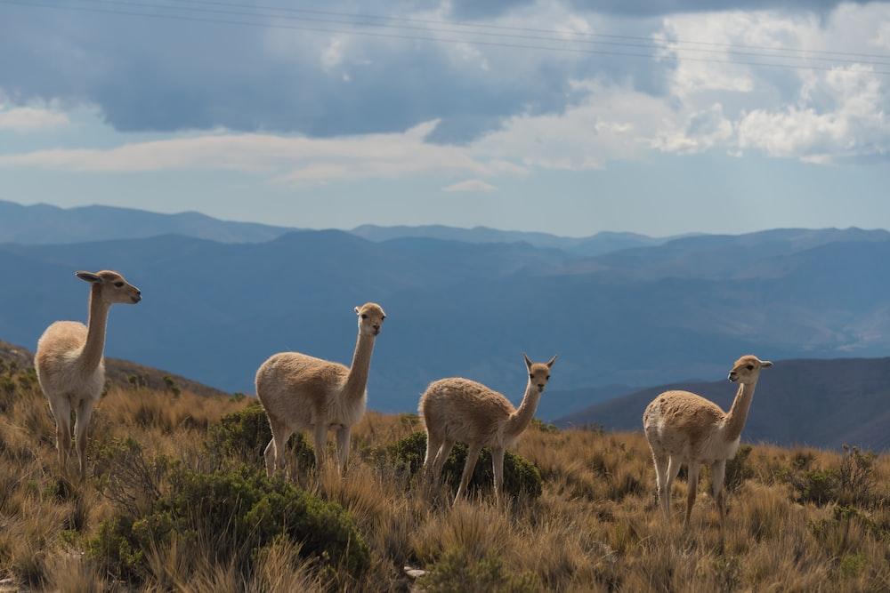 four brown camels under blue sky