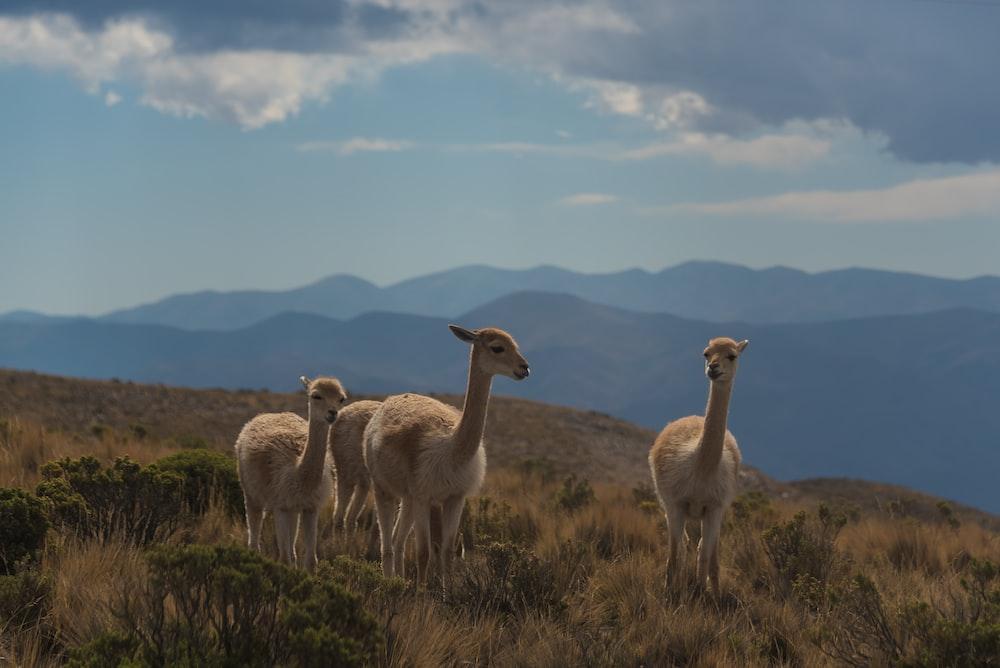 three beige animals on brown grass field