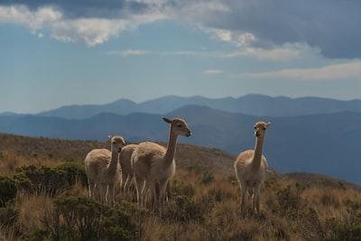 three beige animals on brown grass field argentina zoom background