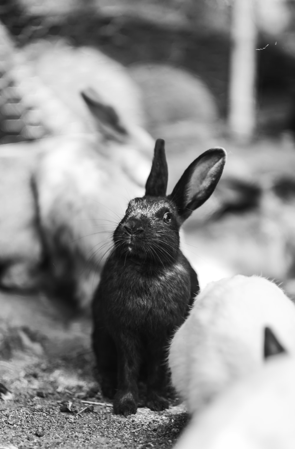grayscale photography of rabbit