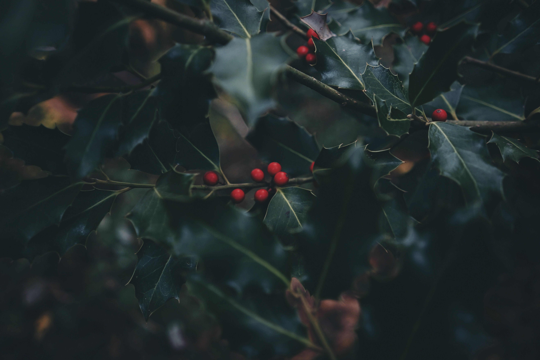 selective focus of mistletoe