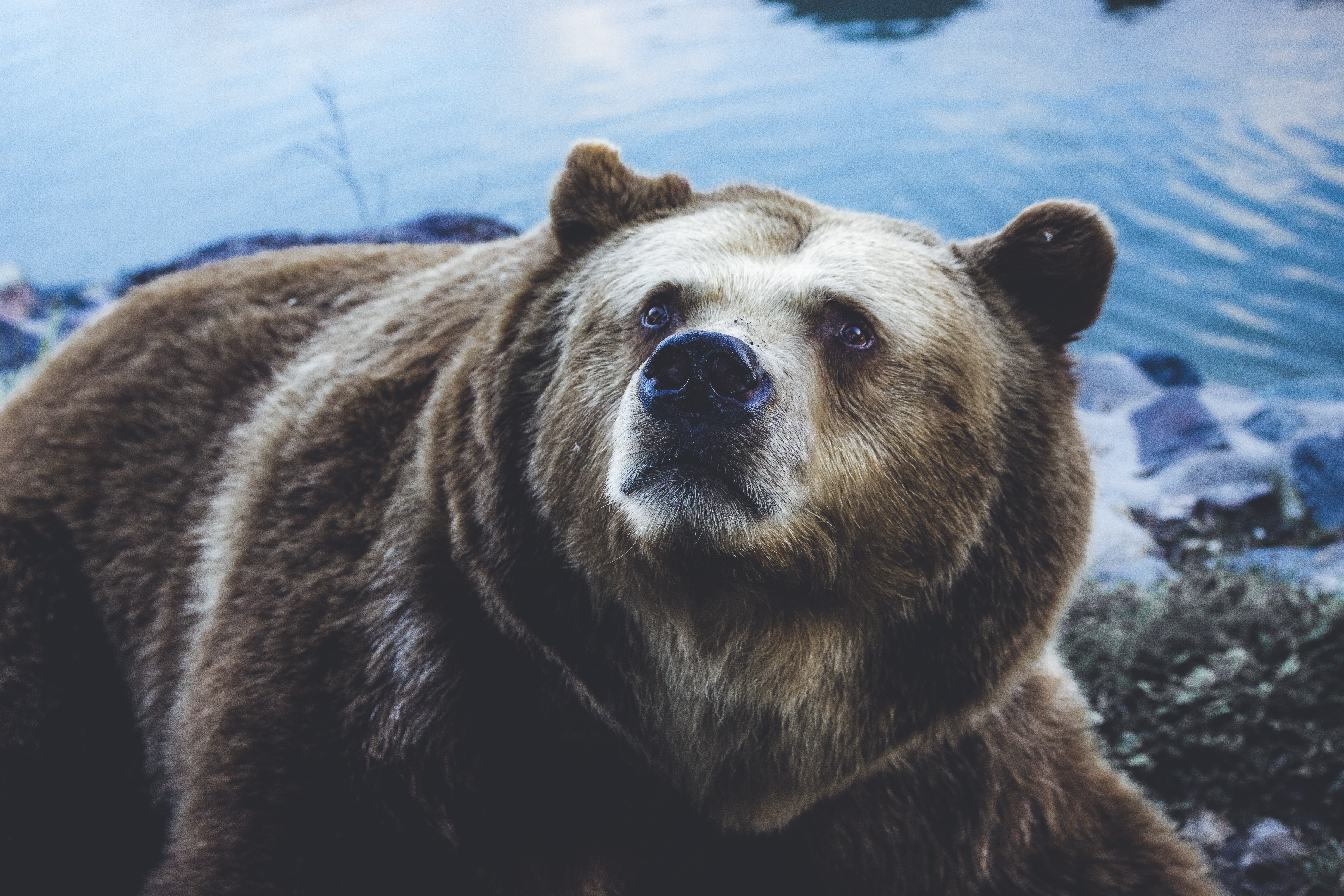 grizzly bear near body of water