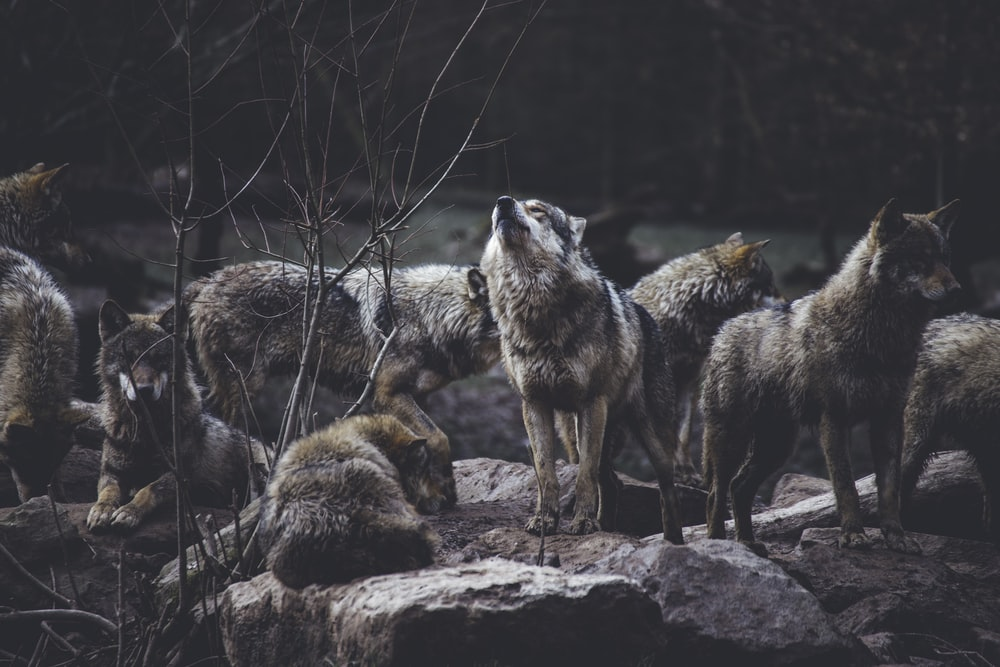 wolf pack on rock formation