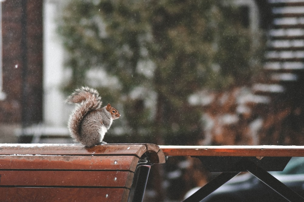 selective focus photography of squirrel sitting on wooden bench