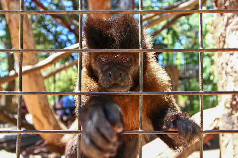 brown monkey in cage