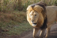 standing adult male Lion