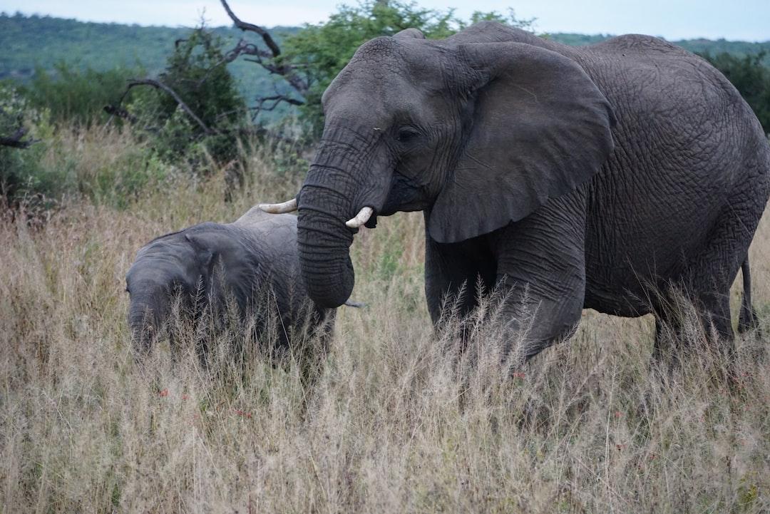 L'éléphant, Loxodonta africana