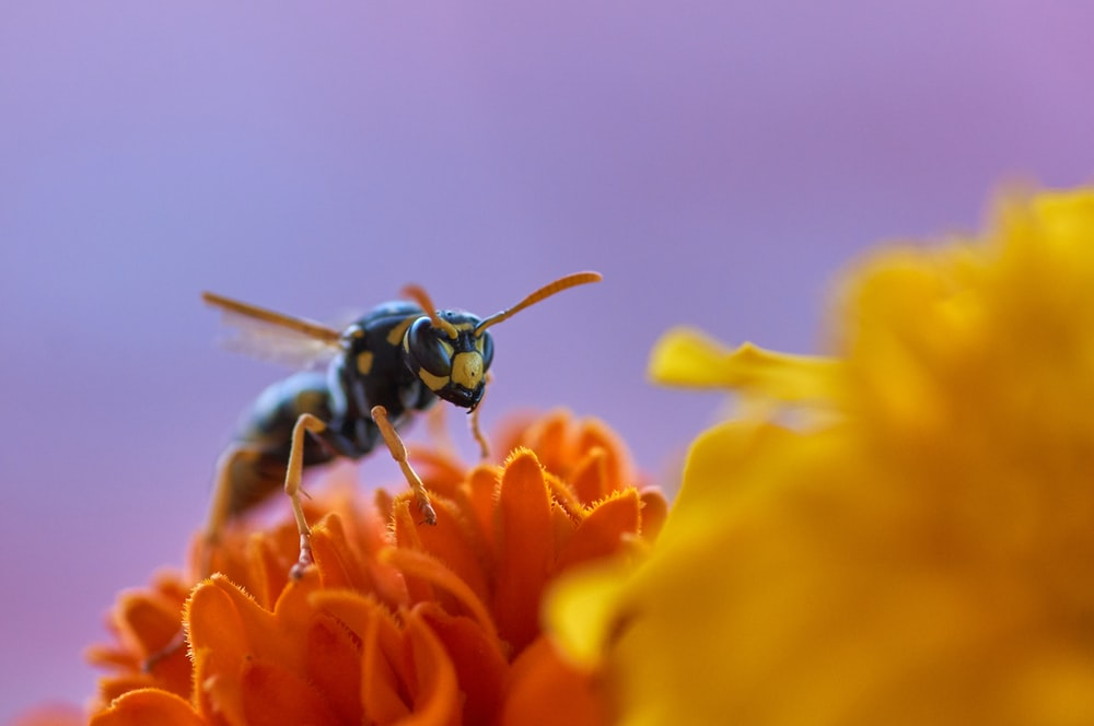 paper wasp on orange flower