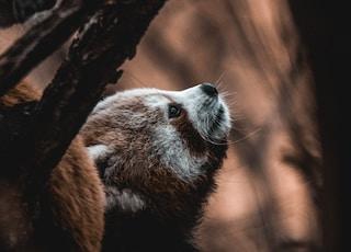 selective-focus photograph of red panda