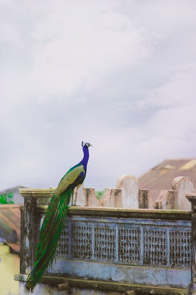 blue and green peacock on the balcony