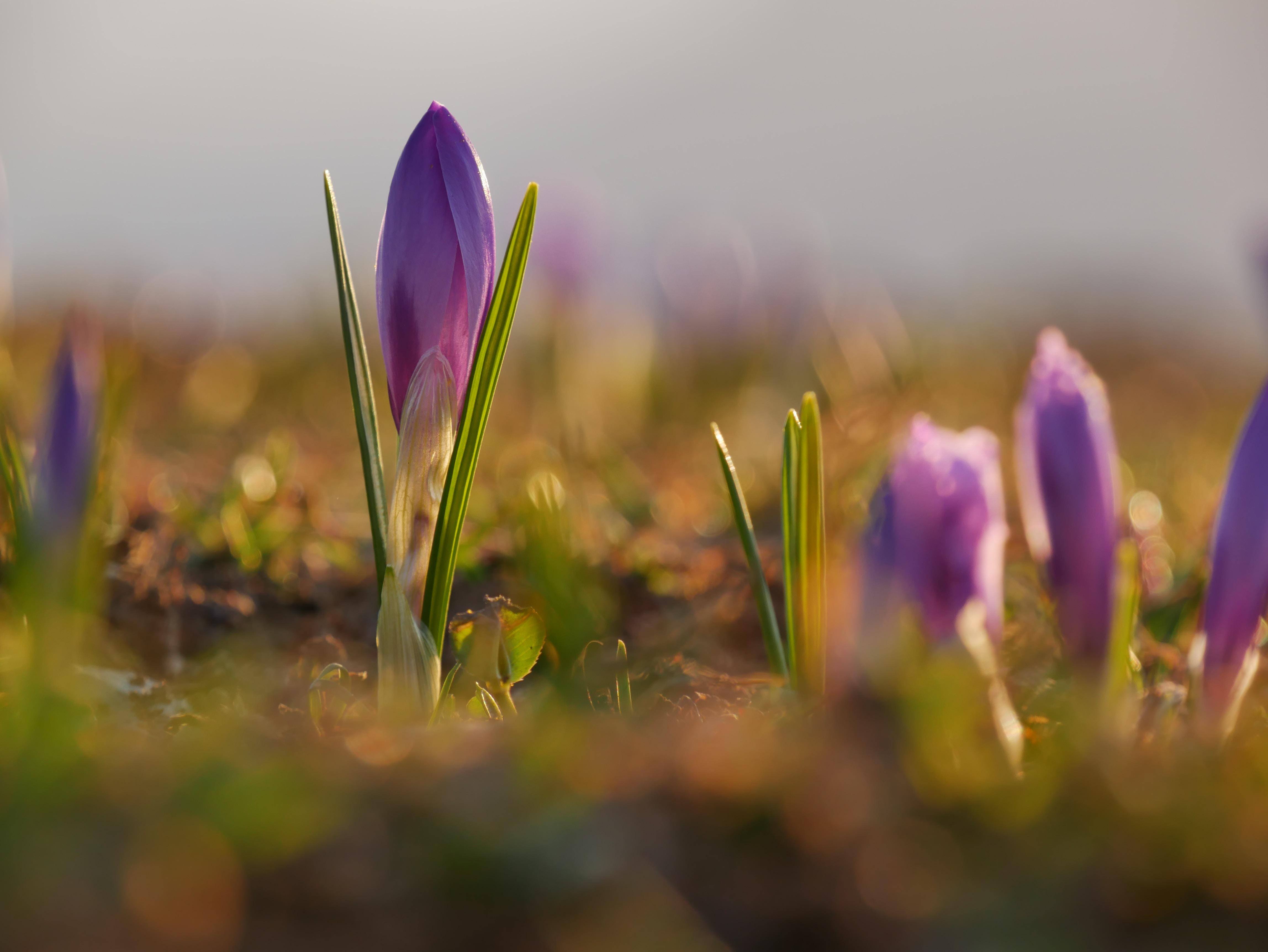 closeup photo of purple tulip flower