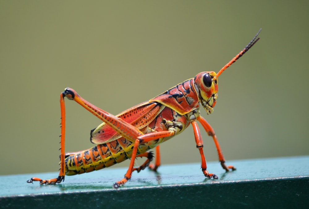 selective focus photography of red grasshopper