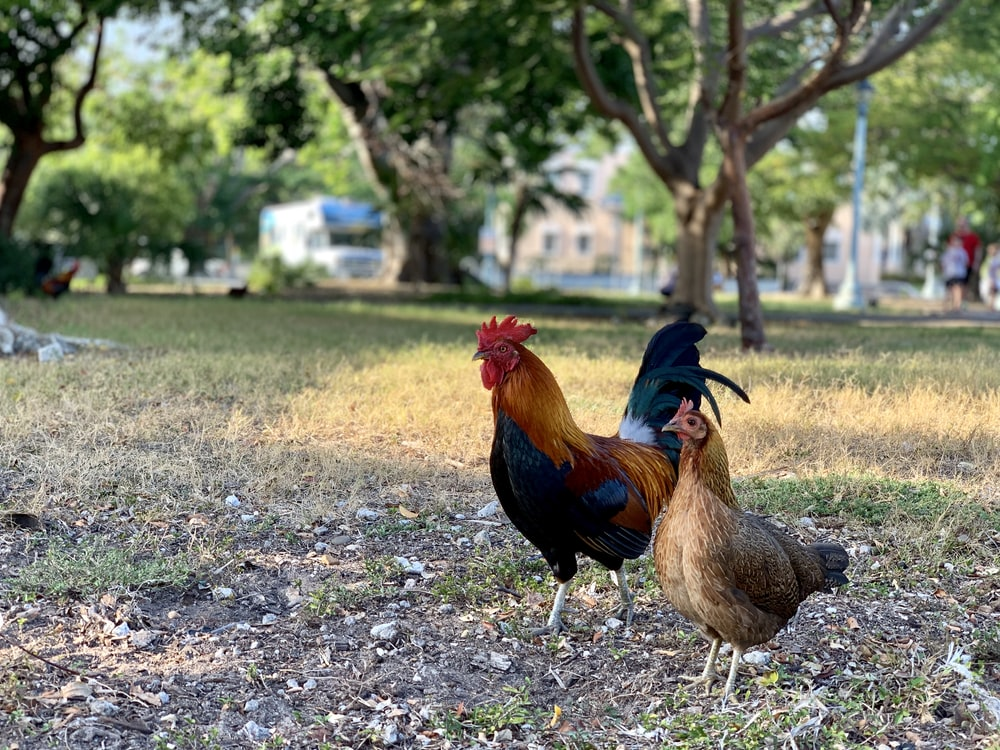 rooster and hen