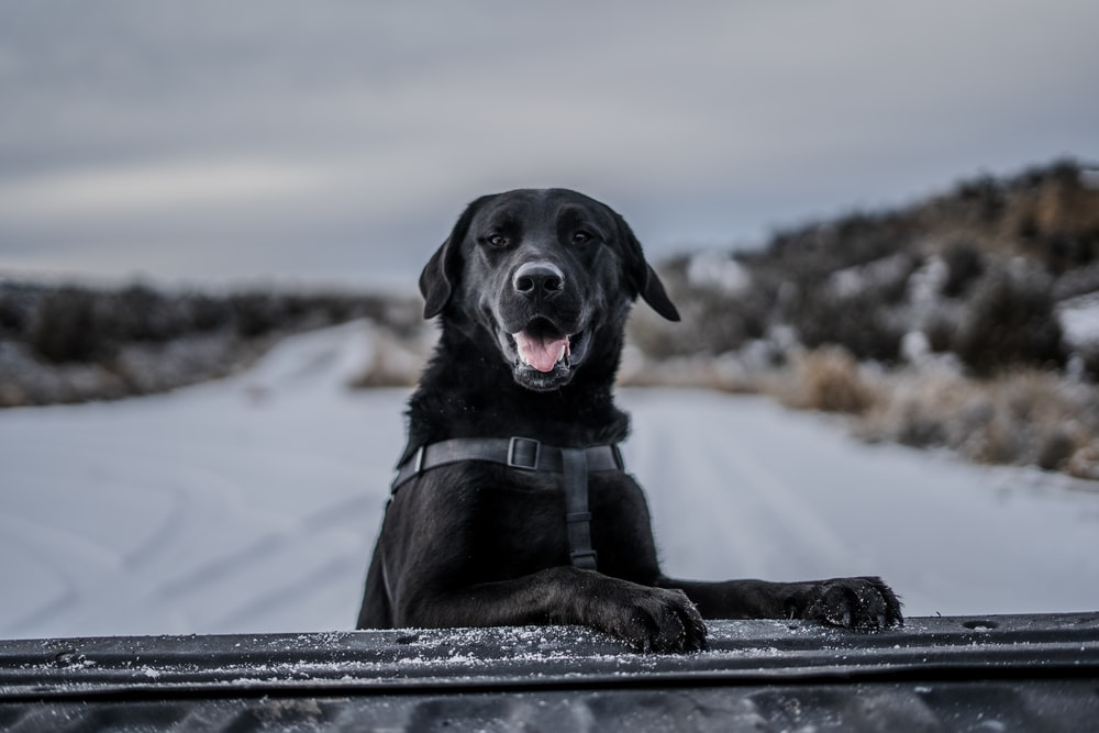 short-coated black dog selective photography