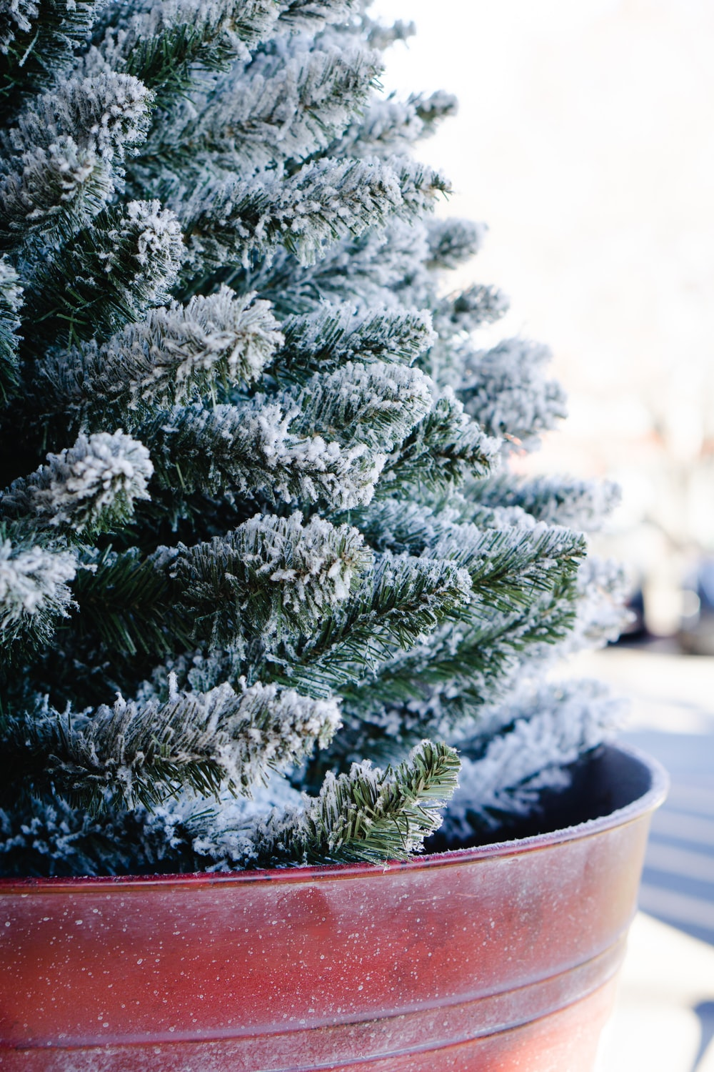 snow covered pine plant