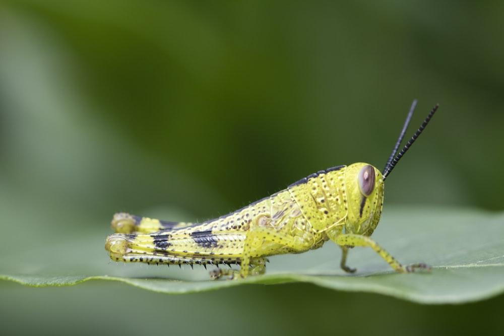 yellow grasshopper on green leaf