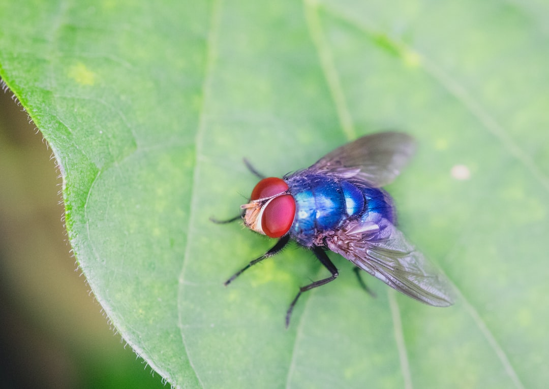 How dangerous is the common housefly?
