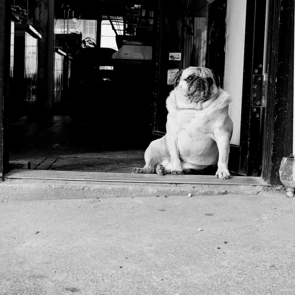 grayscale photo of pug sits beside wall