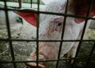 pig inside pen