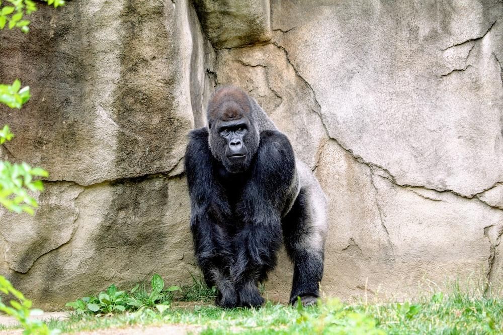 black gorilla standing behind rock