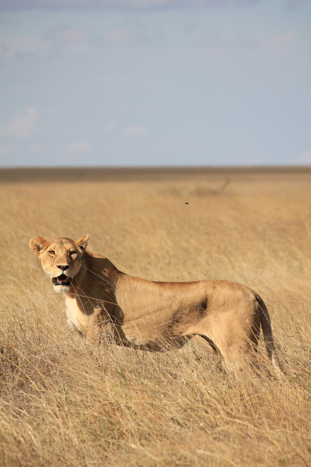 brown lioness surrounded by grass during daytime