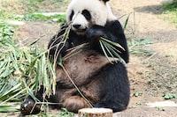 panda eating grass during daytime