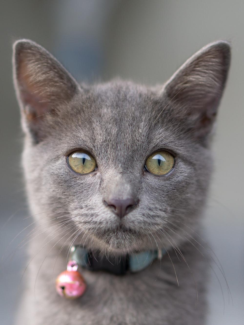 gray Russian short hair kitten with collar