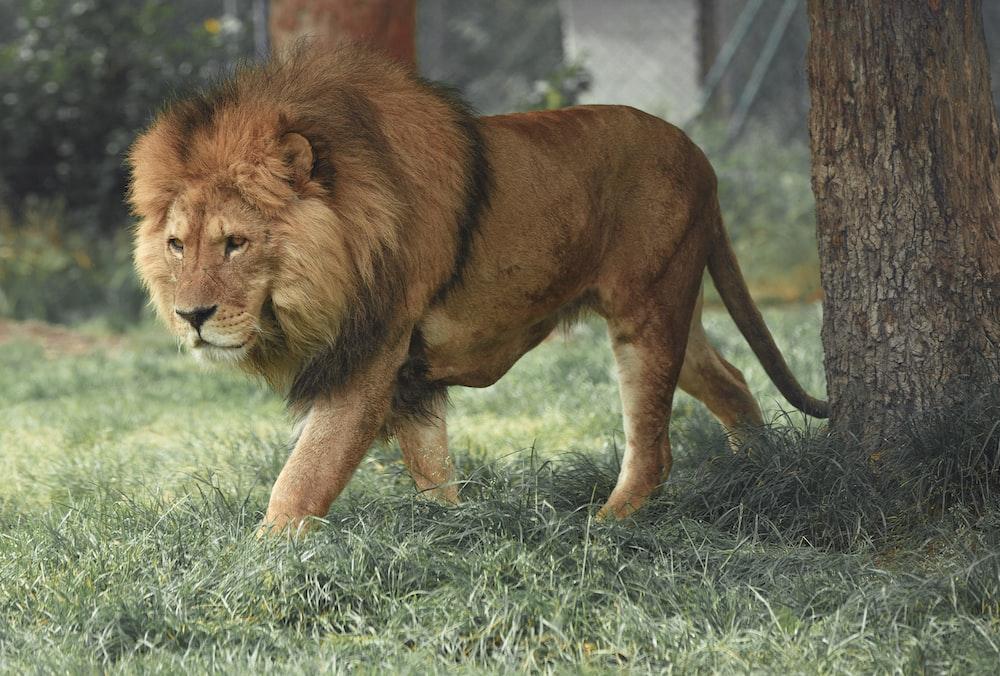 adult lion walking beside tree