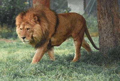 adult lion walking beside tree lion teams background