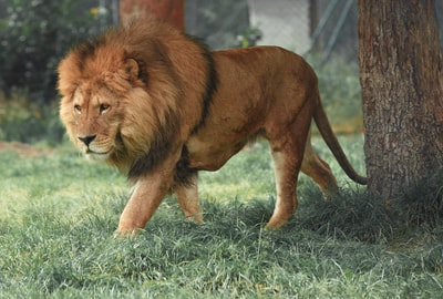 adult lion walking beside tree