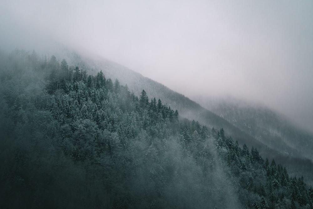 pine trees and mist