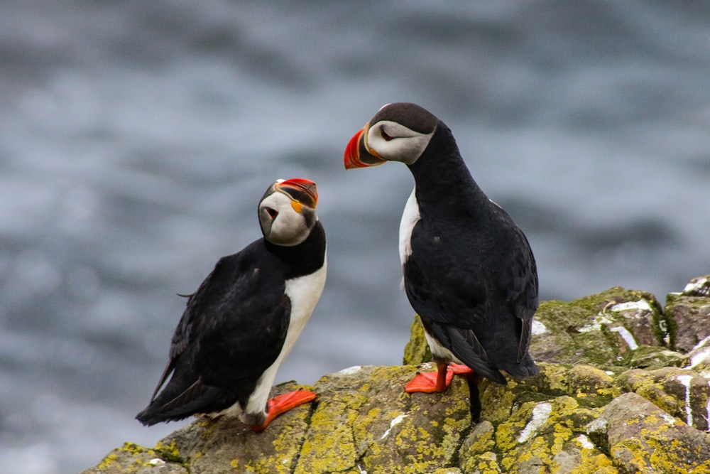 selective focus photography of two Atlantic puffins