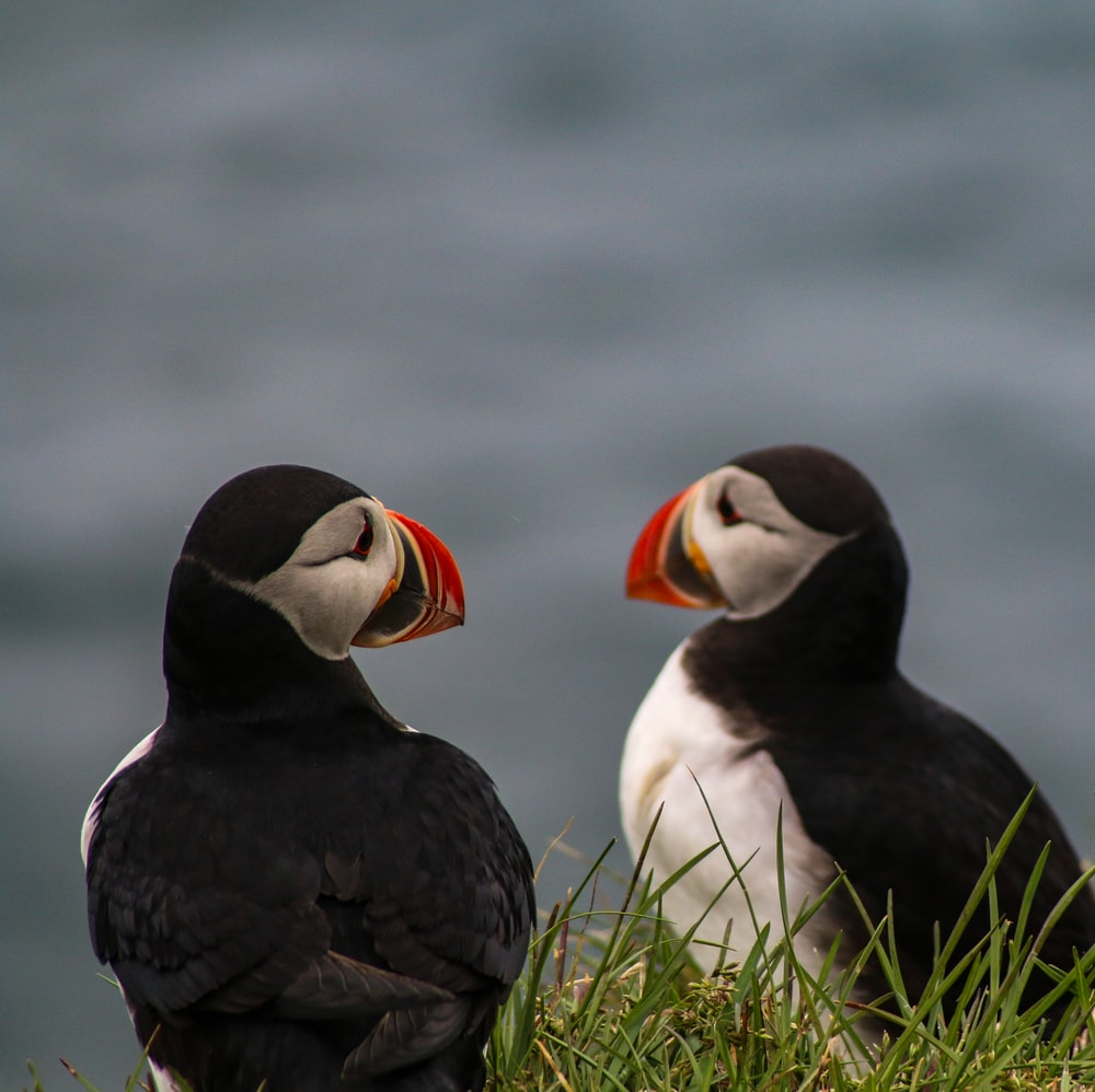 two atlantic puffins sitting on grass field
