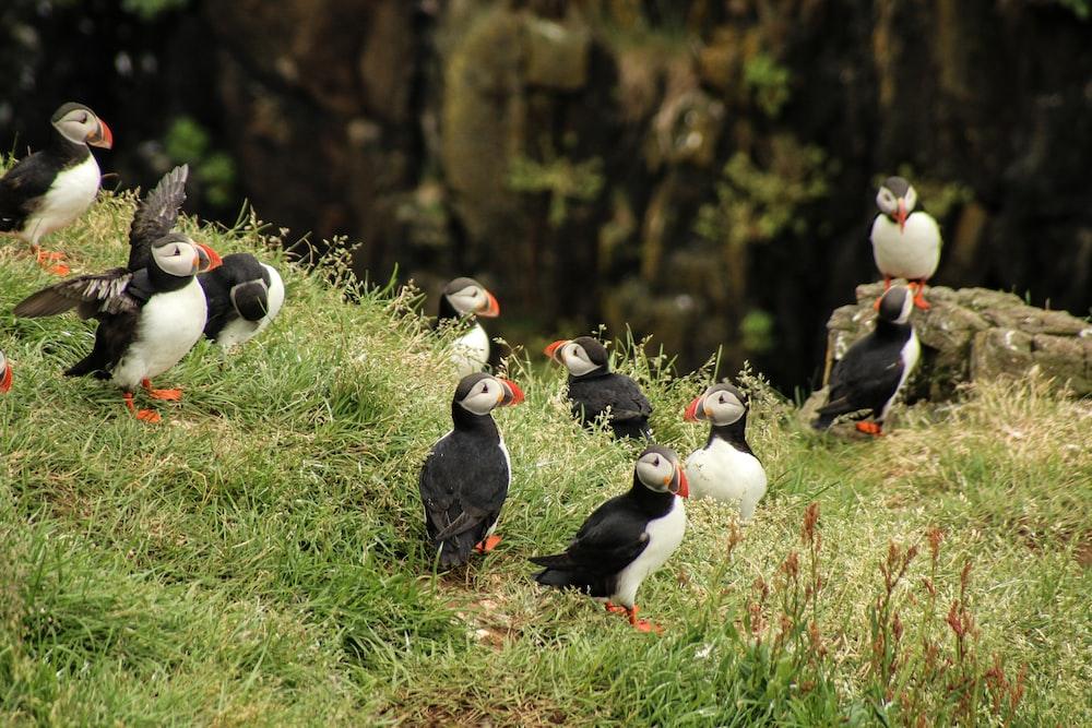 flock of Atlantic puffins on green grass field