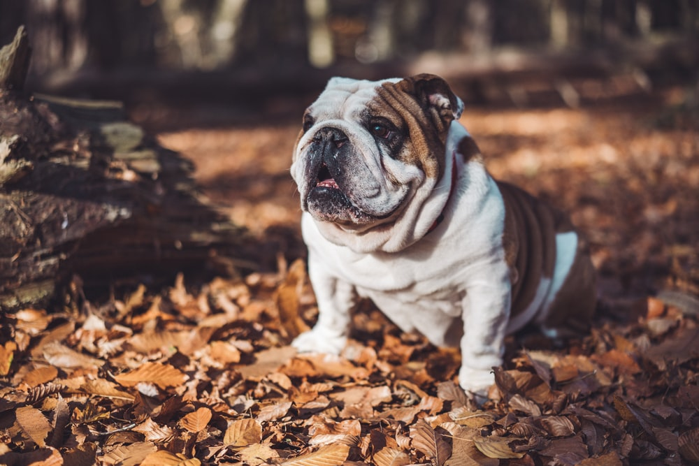 selective focus photography of short-coated white and brown dog on fallen brown leaves during daytime