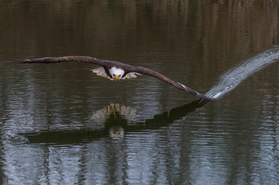 eagle touchinh water with its wings eagle zoom background
