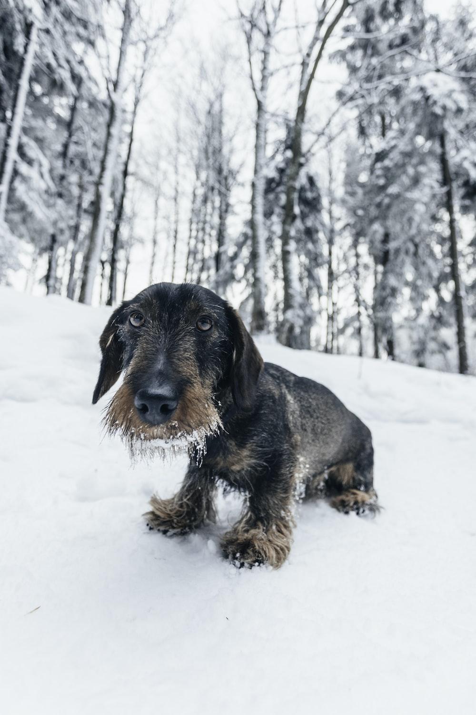 short-coated black dog on snow
