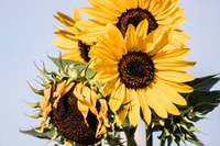 sunflowers on teal background