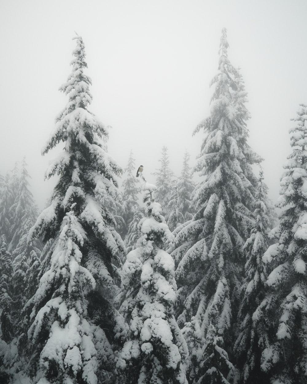 snow coated pin trees photo – Free Plant Image on Unsplash